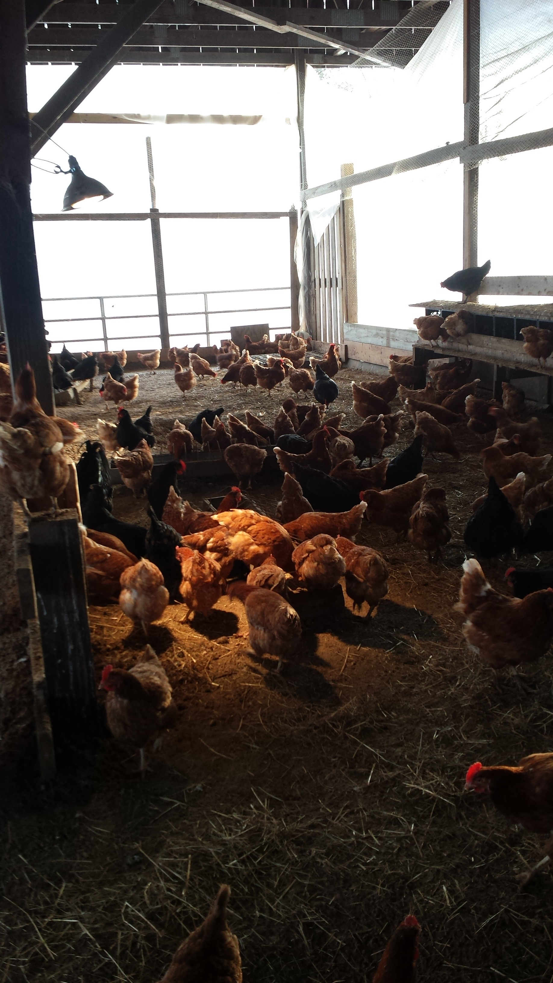 how to raise chickens organically
