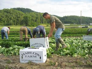 Harlow Farm crew, picking romaine.
