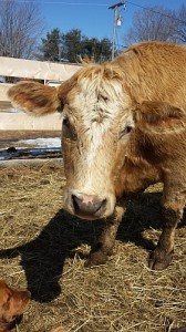 20140401_cows
